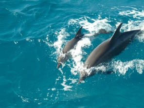 2_divingdolphins