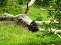gorilla_by_alauna