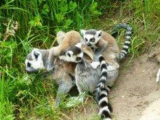 lemury_by_alauna
